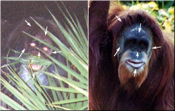skunk ape in Ochoppe